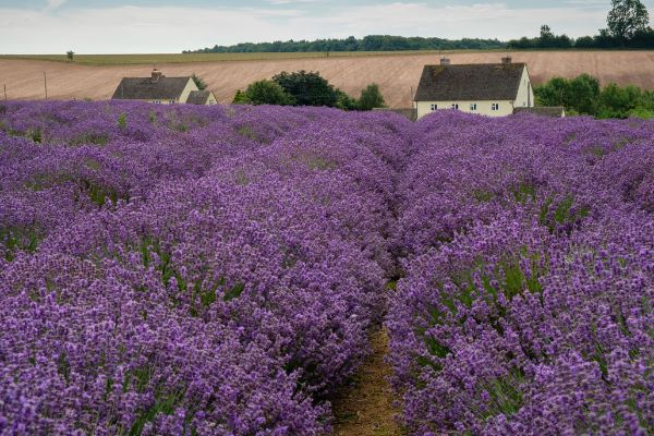 Lavender Cottages