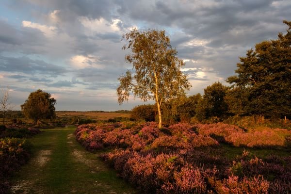 Heather and Silver Birch at Mogshade Hill