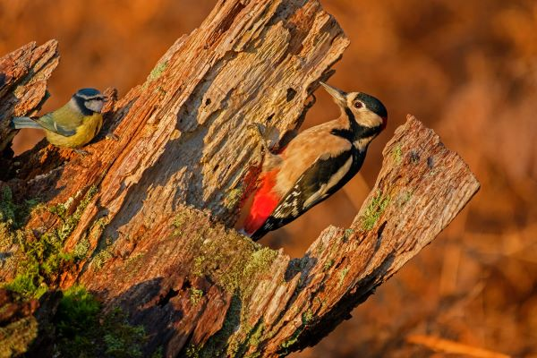 Blue Tit and Great Spotted Woodpecker