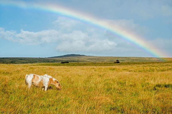 Dartmoor Pony with Rainbow