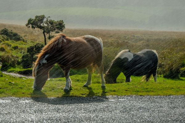 Dartmoor Ponies during a Rainstorm