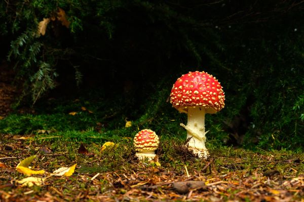 Fly Agaric Amanita muscaria
