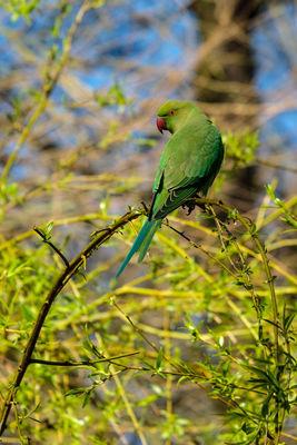 Ring-necked Parakeet Psittacula krameri