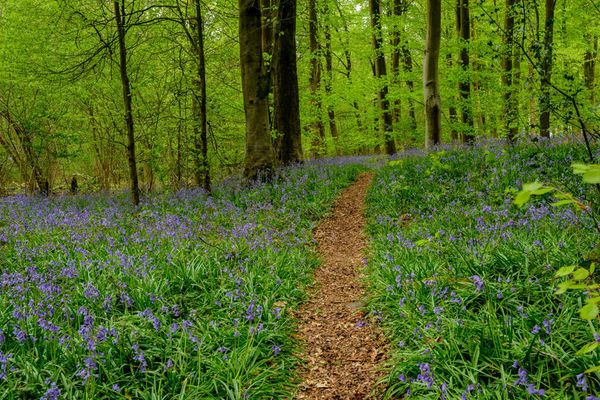 Pathway through Bluebell Woods