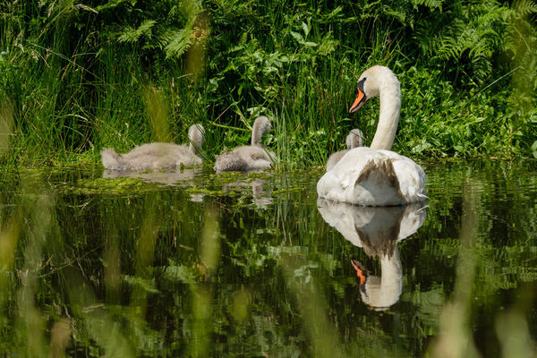 Mute Swan Cygnus olor with Young