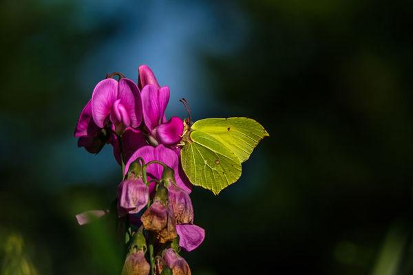 Brimstone Butterfly Gonepteryx rhamni