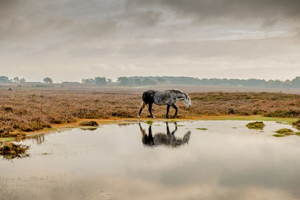 New Forest Pony and Reflection
