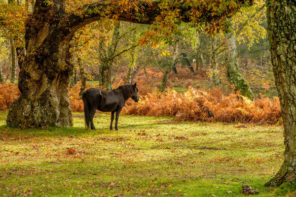 New Forest Pony in Autumn