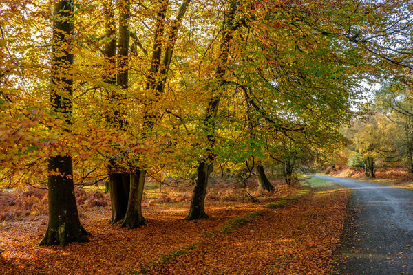 Autumn Beeches Denny Wood