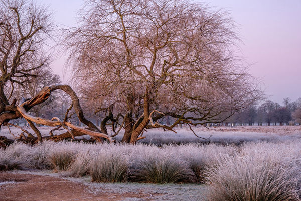 Willow and Frosty Grasses