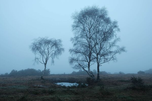 Silver Birch near Lyndhurst