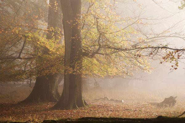Beech Trees in Autumnal Mist