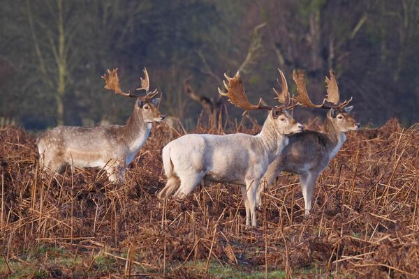 Fallow Deer Dama dama