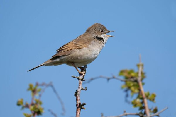 Whitethroat Sylvia communis