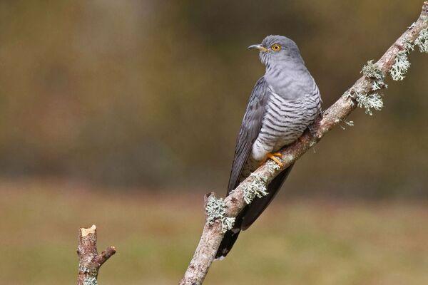 Cuckoo Cuculus canorus