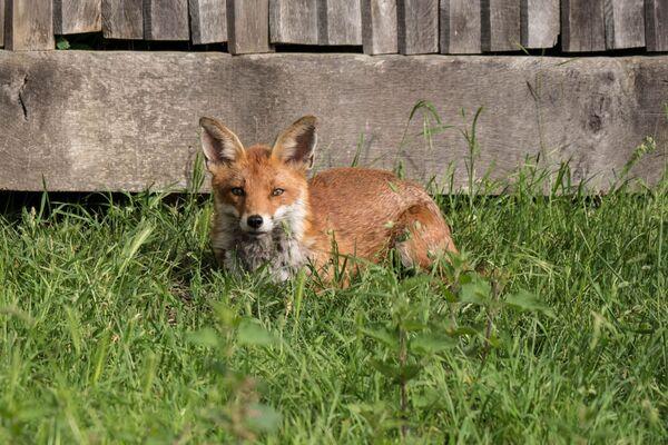 Fox Vulpus vulpus