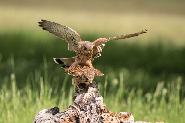 Kestrels Falco tinnunculus