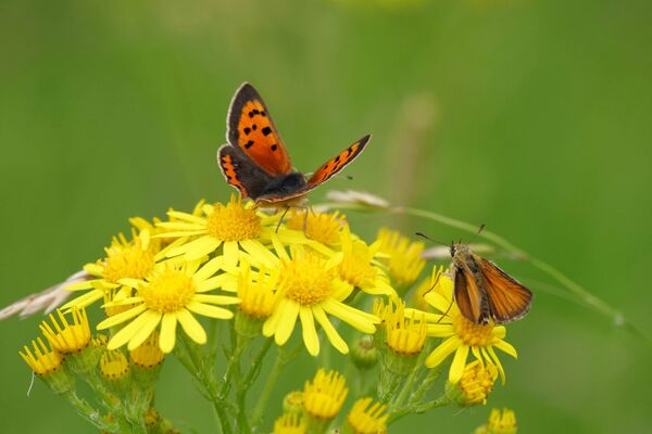 Small Copper and Small Skipper Butterflies