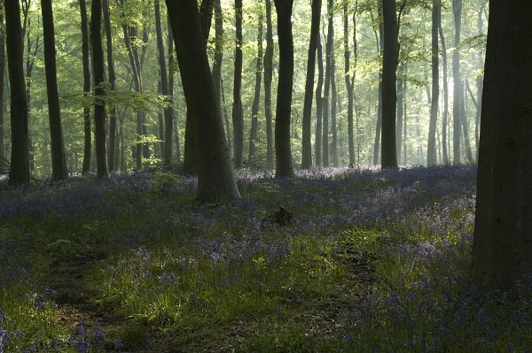 Mist and Bluebells