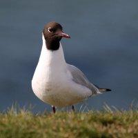 Common Gull 2