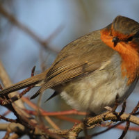 Robin ... Winter