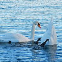 Swan couple in Uunisaari, Helsinki