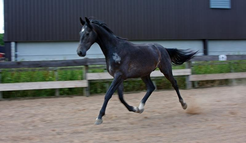 2 YEAR OLD GELDING - A TRUE ALLROUNDER WITH BEAUTIFUL BREEDING AND BAGS OF POTENTIAL