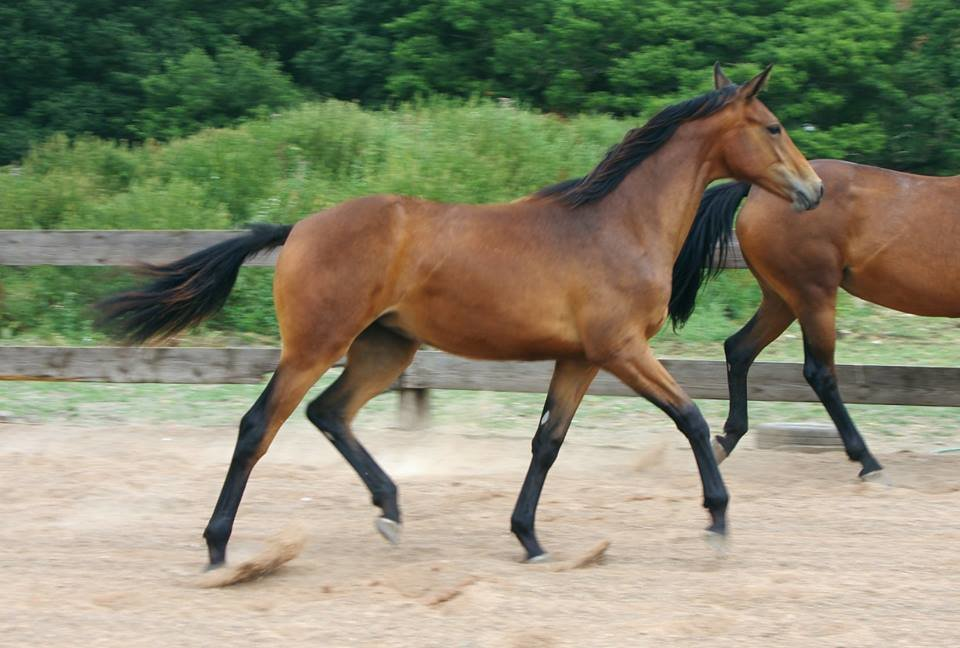 *EXCEPTIONAL EVENTING/ WORKING HUNTER YEARLING FOR SALE*