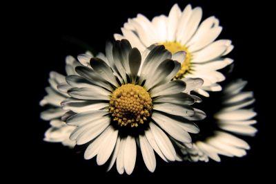 Bouquet de daisy