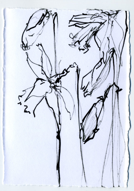 Daffodil 1 - 1 minute sketch