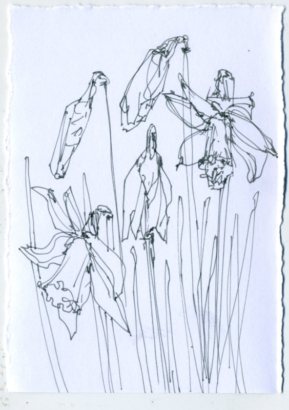 Daffodil 2 - 1 minute sketch