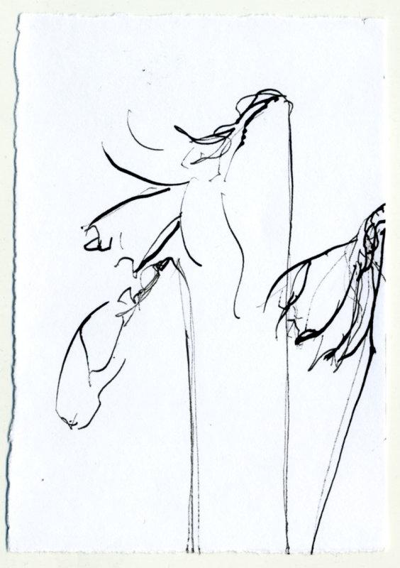 Daffodil 3 - 1 minute sketch