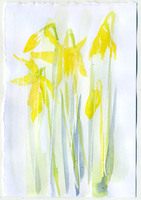 Daffodil 6 - 1 minute sketch