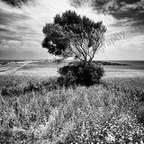Cyprus Tree