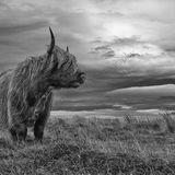Exmoor Bull