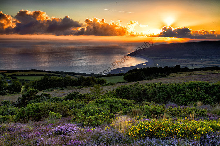 Overlooking Porlock Bay, Exmoor on a August morning with the heather in full bloom