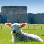 Lamb at Camber Castle