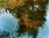 Pine Needles on Water