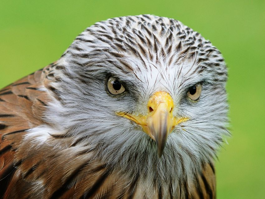 Bluck, Graham ---Red Kite ---Commended