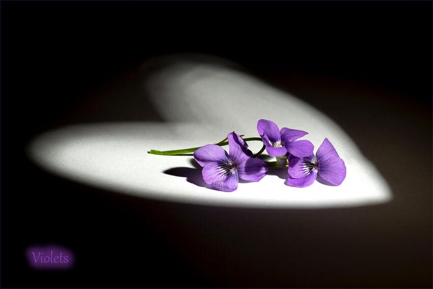 HC - Violets - Geoff Mallin