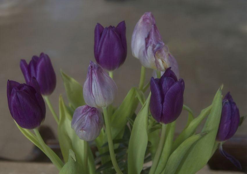 LCE Prints 3rd - Tulips by Steve Hallam