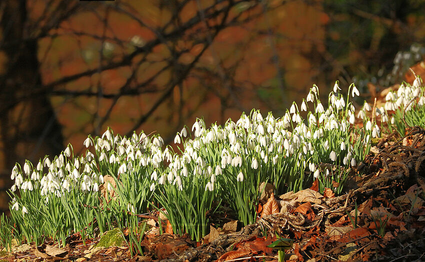 Peter Weaver ---Woodland Snowdrops Painswick