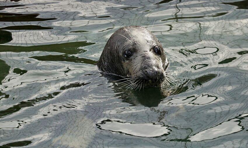 Seal at Gweek