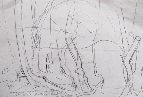 outdoor sketch hawthorn