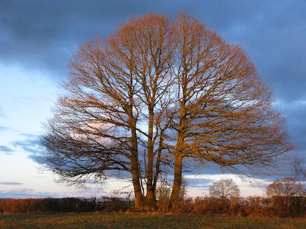 hedgerow oak sundown