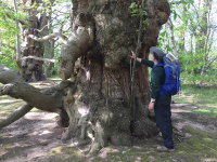 Huge Oak at Brobury Scar - summer 2017