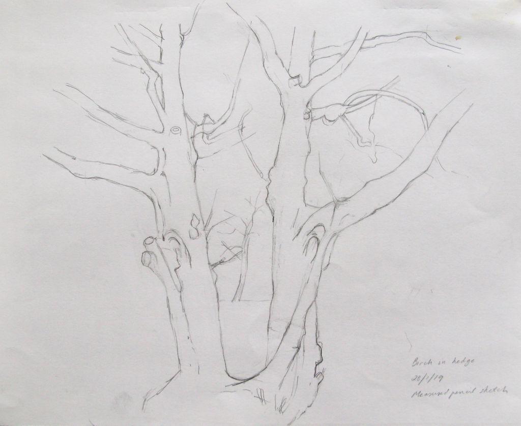 pencil sketch birch