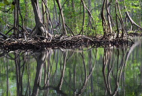 Mangroves in thr Parque Nacional los Haitises