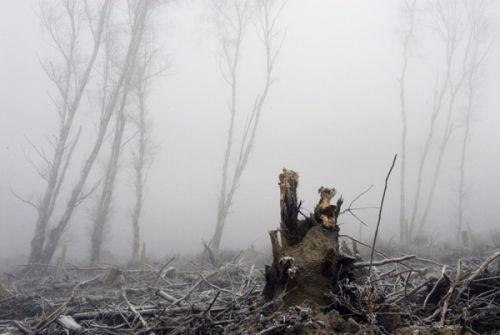 Stump trees mist
