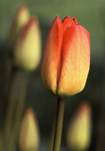 Tulips in bud